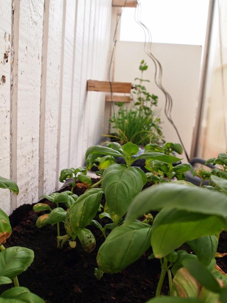 Frisk basilikum i drivhus